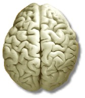 brain-hemispheres.jpg